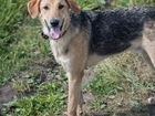 Новое фото Отдам даром - приму в дар Мегаспокойный щенок-подросток, близкий метис гончей, 8 мес 69839179 в Санкт-Петербурге