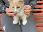 Новое фото  Рыжий котенок-эльфик в ответственные руки 84782309 в Санкт-Петербурге