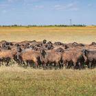 Продаю племенных овец эдельбаевской породы