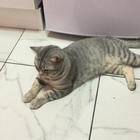 Вязка с британским короткошерстным котом
