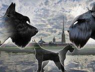 высокопородные щенки ризеншнауцера Продаются высокопородные щенки ризеншнауцера