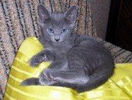Продам котят Продам котят русской голубой кошки. Четыре кошечки. Едят все и все