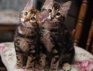 Бенгальские кашемировые котята Питомник бенгальских кошек Kissana предлагает вел