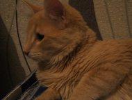 отдам кота Отдам кота, 7 месяцев, к лотку приучен. Игривый, не агрессивный