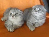 Элитные шотландские вислоухие котята Роскошные вислоухие мальчик и девочка 2. 5