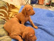 продам щенков венгерской выжлы Продаются высокопородные щенки венгерской коротко