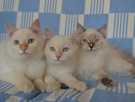 """Невские маскарадные подрощенные котята Продам котят из питомника """"Сибирское Чудо"""