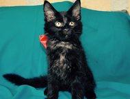 Продаются котята мейн-кун Мурчащие комочки счастья породы мейн кун готовы к пере