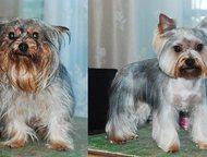 Стрижка собак - стрижка йорков Стрижка собак пород: йорков, пуделей, ши-тцу, пек