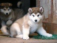 Перспективные щенки Маламута Продаются красивые, перспективные щенки Маламута, 2