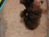 щенок лхасский апсо срочно отдам в добрые руки девочку лхасский апсо. 6 месяцев.