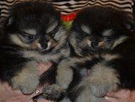 померанский шпиц мини Предлагаются к продаже и резервированию щенки разных типов