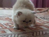 Продам персидских котят Продам персидских котят, (кот и кошечка), 4 мес. к лотку