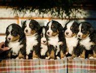 Щенки бернского зенненхунда Предлагаются к продаже щенки бернского зенненхунда,