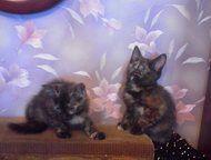 котята даром, в хорошие руки Кошечки-мурлыки 1, 5 мес. Пушистое счастье для Вас.