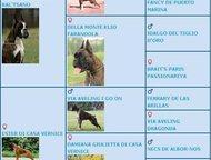 Санкт-Петербург: Продаются щенки немецкого боксёра На продажу рыжие кобели немецкого боксёра.   Рыжий, расписной Емеля в Зените Удачи. Хвост купирован, ушки будут купи