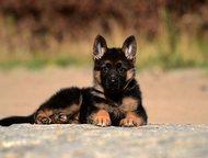 Щенки немецкой овчарки - выбирайте лучшее Предлагаем Вашему вниманию щенков высо
