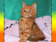 Рыжий,чёрные,голубые мейн-кун котята Питомник предлагает к продаже котят породы