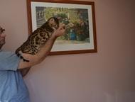 Бенгальские котята Продам котят 2, 5мес. 3 девочки и 2мальчика, окрас розетка на