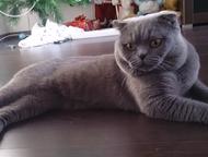 Вязка с шотландским вислоухим котом Опытный кот 6 лет, шотландский вислоухий жде
