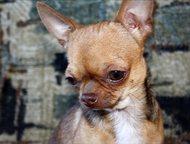 Щенки чихуахуа , из питомника Бон фо шоу Продаются щенок чихуахуа, мальчик мини