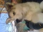 Изображение в Собаки и щенки Продажа собак, щенков СДЕЛАЙТЕ СЕБЕ ПОДАРОК. . . ЩЕНКИ АЛЯСКИНСКОГО в Пензе 10000