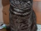 Фото в   Молодой шотландский прямоухий котик редкого в Саранске 0