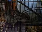 Просмотреть фото  Семья шиншилл из 3 зверьков с клеткой 68499464 в Саранске