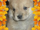 Изображение в   щенки чау-чау короткошерстные и длинношерстные, в Сарапуле 10000