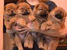 Свежее foto Собаки и щенки щенки чау-чау 32323281 в Саратове