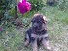 Фотография в Собаки и щенки Продажа собак, щенков Щенки немецкой овчарки, с родословной, возраст в Саратове 7000
