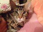 Фотография в   Потерялся молодой красивый кот в районе Кумысной в Саратове 1000