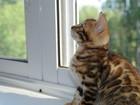 Фото в   Монопородный питомник бенгальских кошек предлагает в Иваново 0
