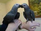 Новое изображение  Продам крупных и средних попугаев различных видов от птенца до взрослой птицы, 37157253 в Саратове