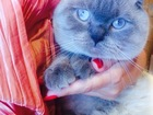 Изображение в Кошки и котята Вязка кот шотландской породы. элитного окраса, в Саратове 1500