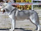 Смотреть фотографию Вязка собак приглашаем дам на вязку породы сибирской хаски, 37208089 в Саратове