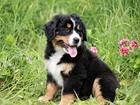 Фотография в Собаки и щенки Продажа собак, щенков Продаю щенков Бернского Зенненхунда. Документы в Саратове 0