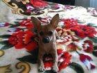 Изображение в Собаки и щенки Вязка собак СЭМ 2, 5кг ищет девочку (не развязан)п.  в Саратове 0