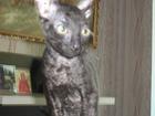 Фото в   продается котенок породы корниш-рекс, цвет в Саратове 0