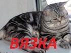 Изображение в Кошки и котята Вязка Опытный скоттиш фолд приглашает на свою территорию в Саратове 800