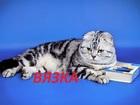 Просмотреть foto Вязка мраморный вислоухий шотландский кот на вязку 37829197 в Саратове