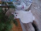 Просмотреть фото Вязка ищем кошечку для нашего красавца, 38894929 в Саратове