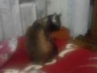Новое фото Вязка кошек Милый Сиамский Котик встретится на вашей или на своей территории бесплатно, 53102598 в Саратове