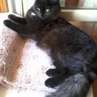 найдена пушистая черная кошка