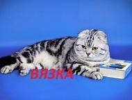 Мраморный вислоухий шотландский кот на вязку Привитый котик, имеет международный