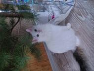 Ищем кошечку для нашего красавца Ищем кошечку для нашего котика Тайсона, умный,