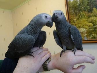 Увидеть изображение  Продам крупных и средних попугаев различных видов от птенца до взрослой птицы, 37157253 в Саратове