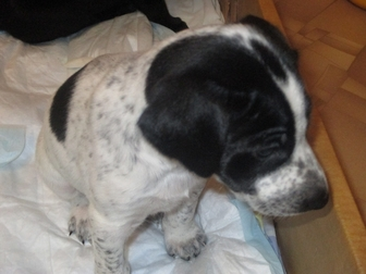 Смотреть фотографию Продажа собак, щенков отдам в добрые руки щенков 37383591 в Саратове