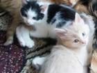 Изображение в Отдам даром - Приму в дар Отдам даром Отдам котят в хорошие руки, три кота (2 рыжих, в Сатке 0