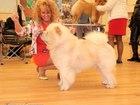 Новое изображение Вязка собак кобель чау чау 38586969 в Пензе